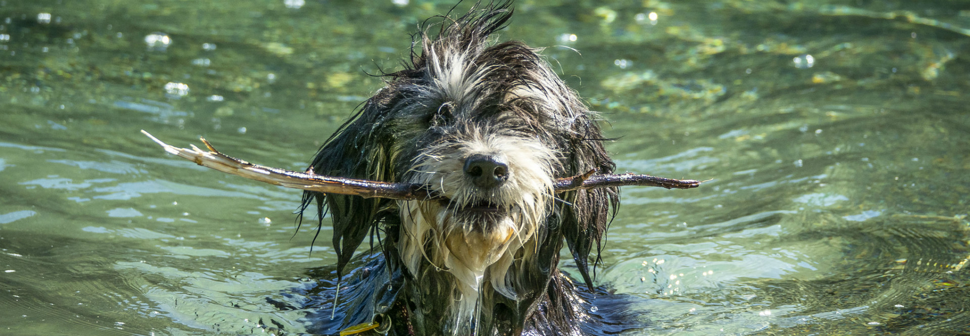 A fuzzy gray and white dog swims in a clear lake with a stick in its mouth.