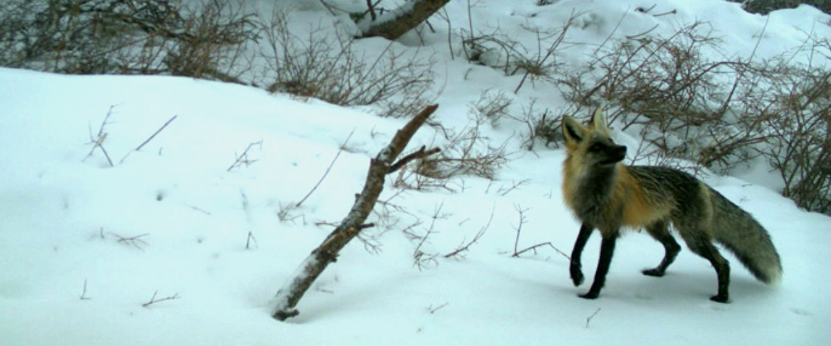 Sierra Nevada Red Fox in snow