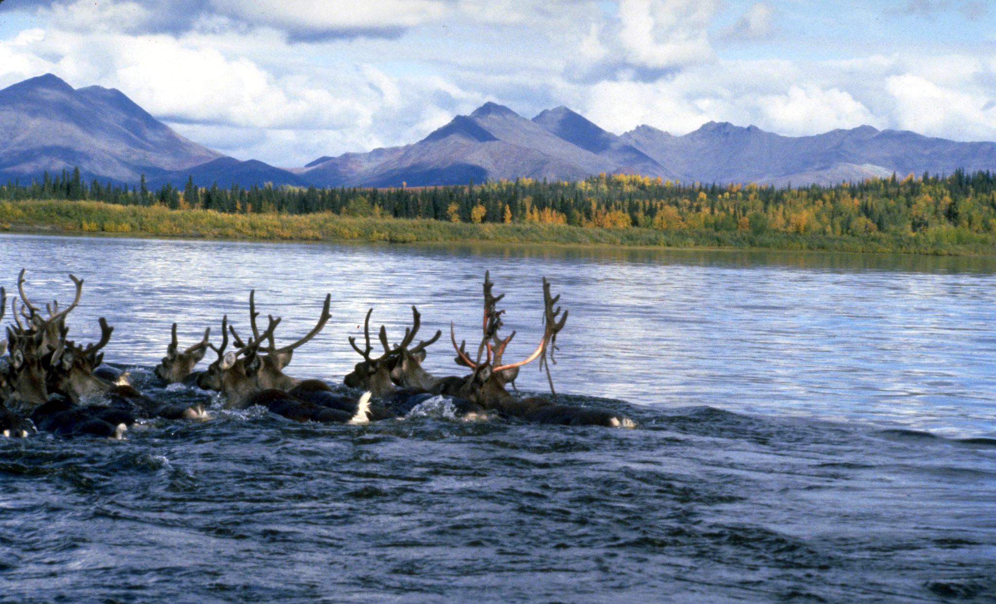 A small group of caribou swim across a wide river with a forest and mountains on the far bank.