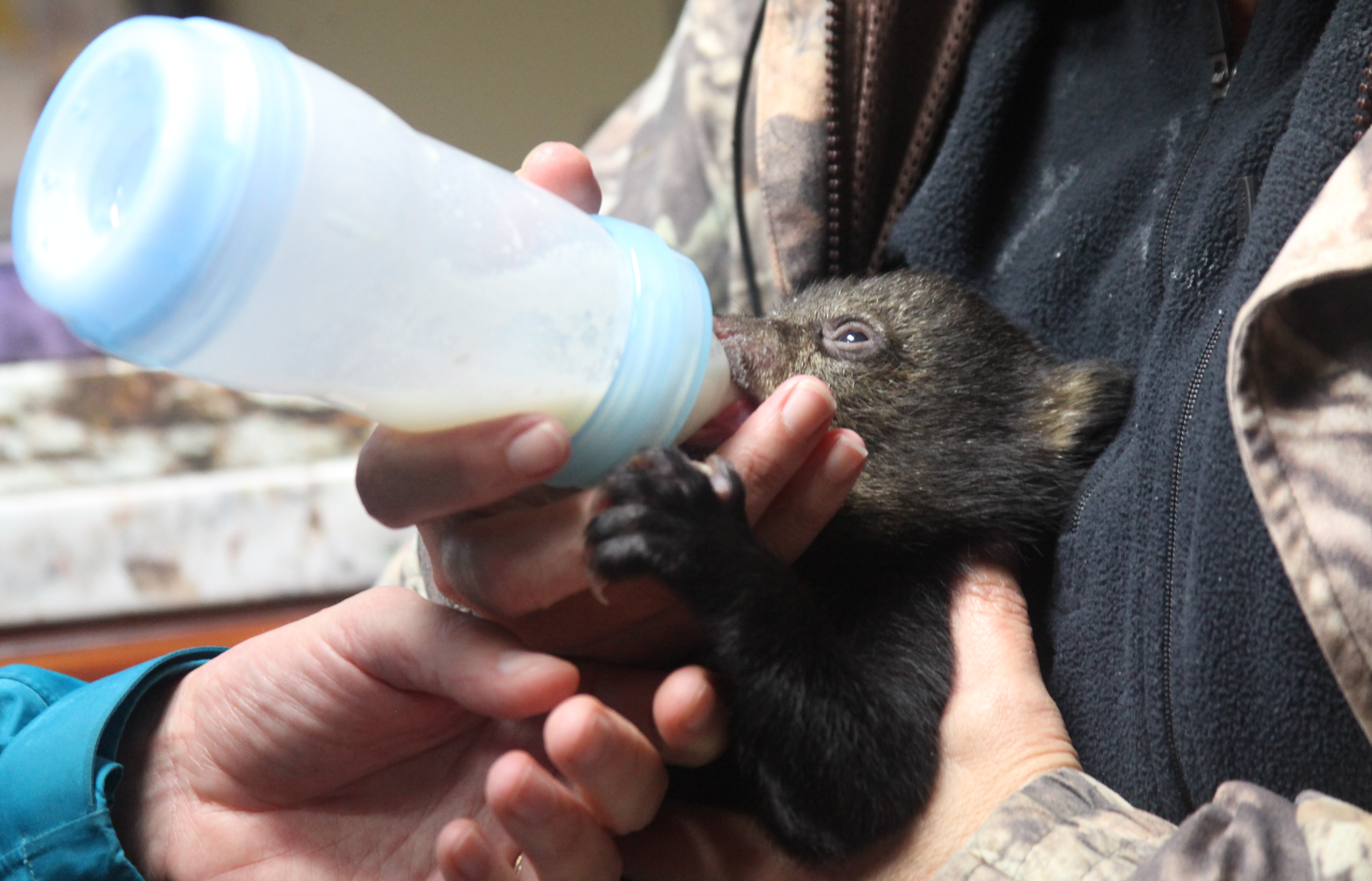 Bear cub being fed from a bottle