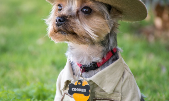 "A small, brown Yorkshire terrier sits in grass in his tan ""park ranger"" uniform complete with a hat."