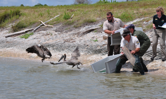 Two pelicans released back into the wild.