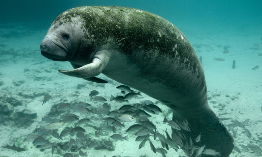 One manatee floats alone, seemingly waving to the camera.