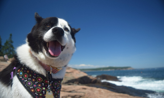 A large black and white dog looks at the camera with an open mouth as it sits on a rocky shore with the ocean in the background.