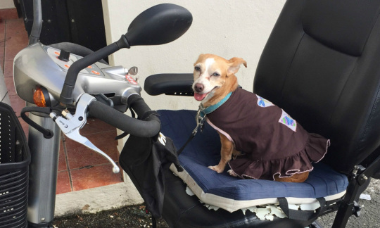 A small dog wearing a sweater sits on the seat of an electric scooter.