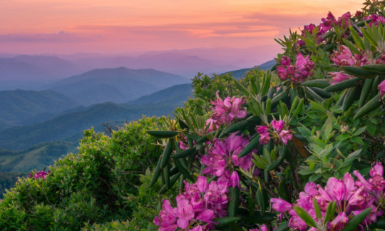 Bright purple flowers grow from large bushy plants on a hillside with mountains rolling in the distance.