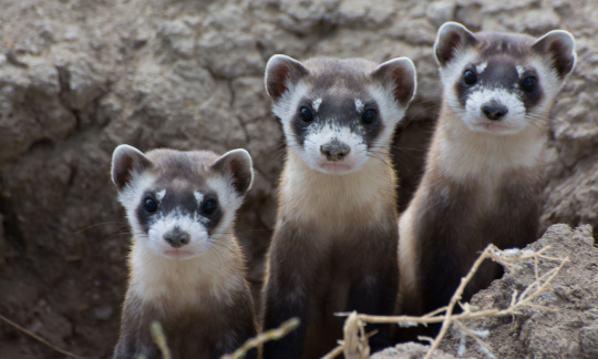 Three black-footed ferrets peak out of a hole in the ground.