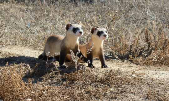 Two furry black footed ferrets stand on a dirt path bordered by dry grass.