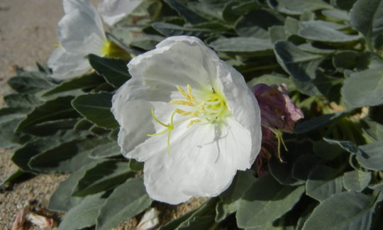 A flower with large white petals surrounded by green leaves grows on the sandy desert floor.