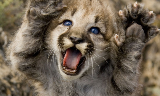 Mountain lion kitten with blue eyes extends paws.