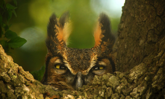 A yellow-eyed great horned owl peers over the edge of a tree branch.