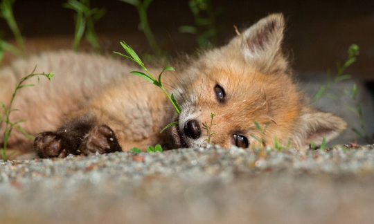 A fuzzy fox pup lies on its side holding a sprig of grass in its mouth.