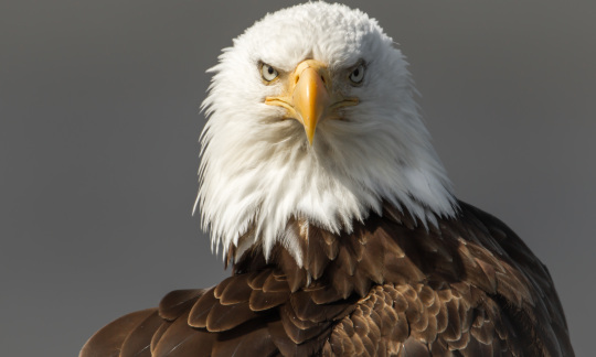 A close up shot of a bald eagle looking at the camera.