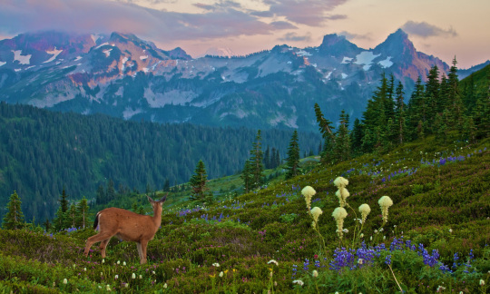 A young deer stands on a grassy hillside among wildflowers, looking out to mountains glowing purple in sunset light.