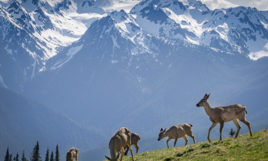 Deer eat green grass with the Olympic Mountains towering in the background.
