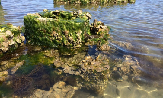 Green Oyster Castles Grow On Beach At Chincoteague National Wildlife Refuge.