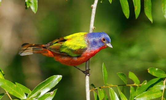 A brightly colored bird called a painted bunting stands on a thin tree branch.