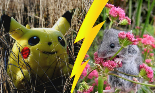 Pikachu and a Deer Mouse, with a lightning bolt dividing their images