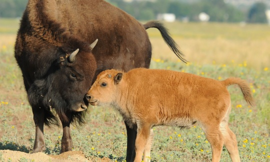 A bison and calf nuzzling noses.