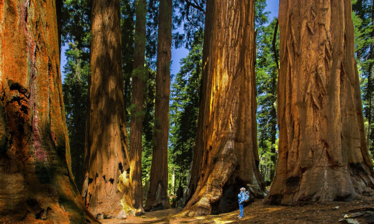 A person stands looking up a tall sequoia trees
