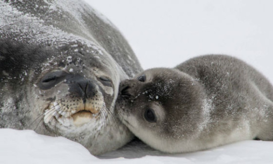 A Weddell seal pup gives its momma a kiss.