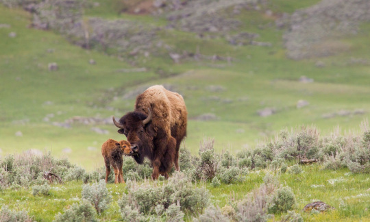 A mother and baby bison walk through the grass