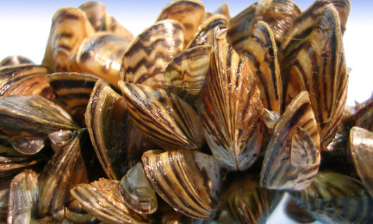 Small stripped mussels cling together on a piece of marine equipment.
