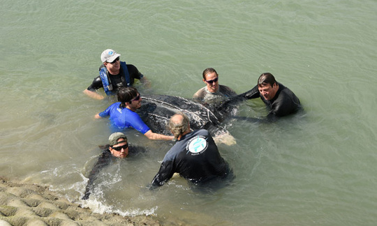 Fish and Wildlife Service employees and volunteers lifting a massive turtle out of the water