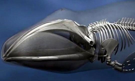 Arctic Bowhead Whales