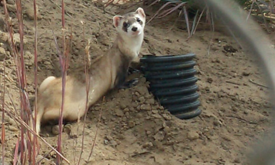 A black footed ferret stands near a drainage pipe