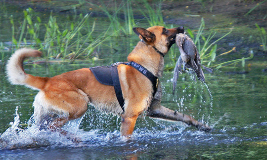 Working dog strides through water with a duck in its mouth. FWS photo.