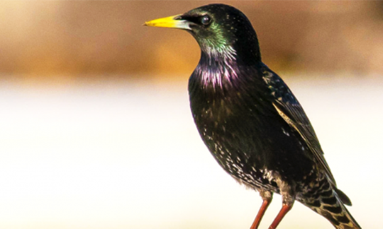 Photo of European starling