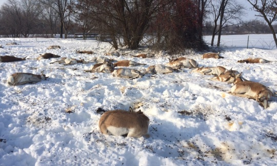 Pronghorn die after eating Japanese yew