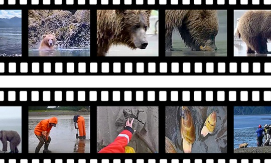 Changing Tides multimedia takes you to the Alaska coast adventuring with brown bears.