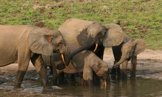 Two adult elephants and two young elephants drink from a large water hole in Africa.