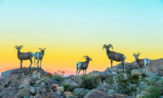Five bighorn sheep stand on a hill with the sun setting behind them.