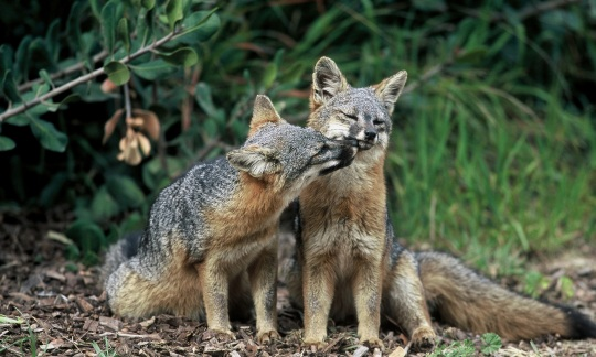 Two gray foxes nuzzling in the grass.