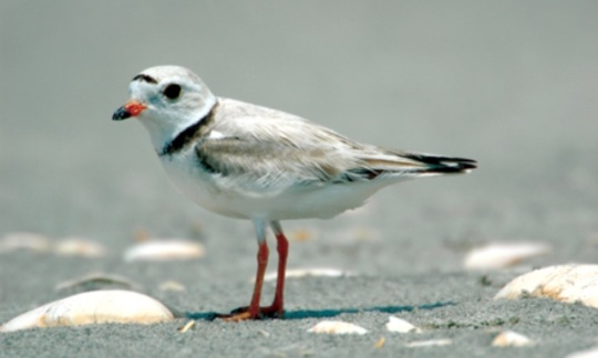 piping plover is a federal threatened species