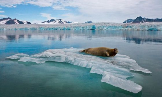 A bearded seal sits on Arctic ice.