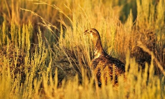 A well-camouflaged sage grouse stands among yellow grass.