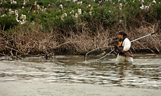 A U.S. Fish and Wildlife Service employee rescuing a pelican
