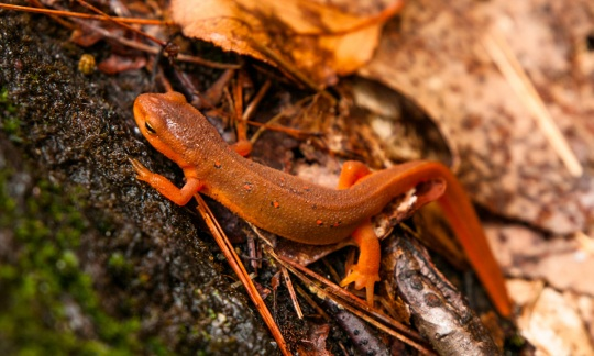 Red-spotted newt at South River State Forest in Conway, MA