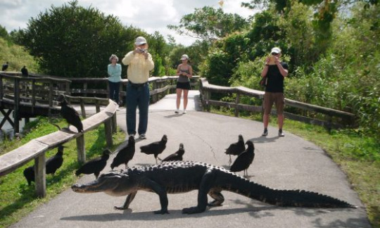 An alligator and birds walk together across the road in Everglades National Park.