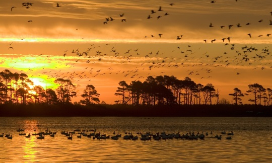The sun rises over a trees and a lake with lots of birds floating and flying over it.