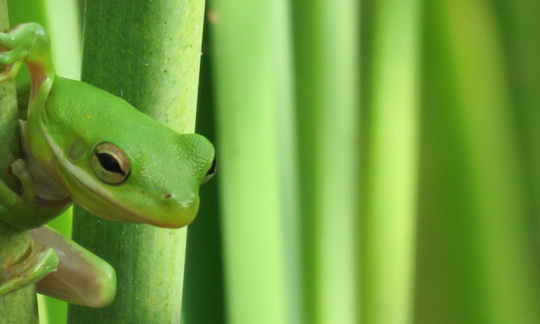 A small green tree frog clings to the stem of a green plant.