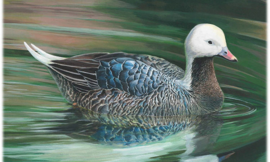 Painting of an emperor goose swimming through a pond.