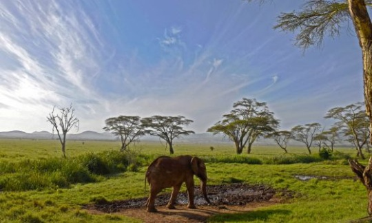 A lone elephant stands under blue skies at Lewa Wildlife Conservancy.