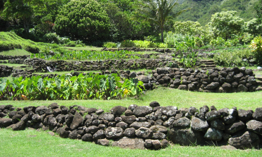 Photo of terraced loi kalo on Kauai