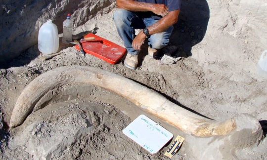 A large mammoth tusk lays on the ground by the BLM employee who uncovered it.
