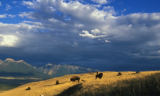 A small herd of bison stand on a grassy hill with mountains in the distance under a cloudy blue sky.